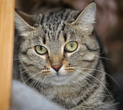 Tabby cat with a scared look. Guilty stock photography