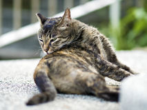 Tabby cat scratch an itch Royalty Free Stock Photography