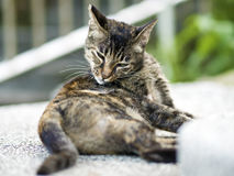 Tabby cat scratch an itch Stock Photography