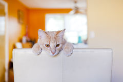 Tabby cat scratching furniture stock image
