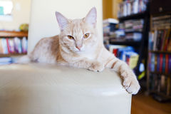 Tabby cat scratching furniture Royalty Free Stock Photos