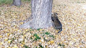 Tabby Cat Scratching at a Tree. A tabby cat scratching at a tree in the leaf littered grass in autumn Royalty Free Stock Image