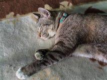 Tabby Cat Seeping met Lethargie stock afbeelding