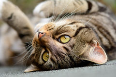 Tabby cat on shed roof. Tabby cat laying upside down on shed roof Royalty Free Stock Photos