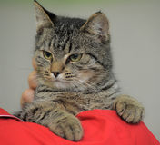 Tabby cat on the shoulder Royalty Free Stock Images