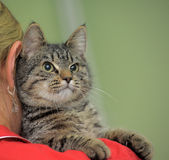 Tabby cat on the shoulder Royalty Free Stock Image