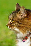 Tabby cat side portrait. Side portrait of tabby cat, green background Royalty Free Stock Images