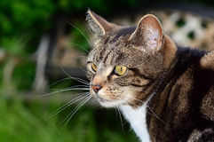 Tabby cat side profile head portrait Stock Photos
