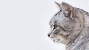 Tabby Cat Side View Stock Photography