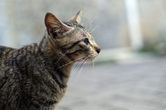 Tabby cat side view Royalty Free Stock Photos