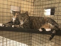 Sister and Brother Cat enjoying sun in cat enclosure. Tabby Cat sister and brother are enjoying the sunshine where birds and wildlife are safe in their outdoor royalty free stock photos