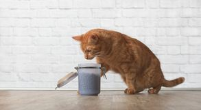 Red tabby cat steals dry food from a open food container. Tabby cat sit on a wooden floor bersde a food container and steall food Royalty Free Stock Image