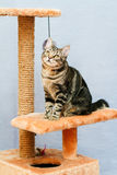 Tabby cat sits on a cat tower Royalty Free Stock Photos