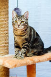 Tabby cat sits on a cat tower Royalty Free Stock Images