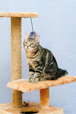 Tabby cat sits on a cat tower Royalty Free Stock Photo