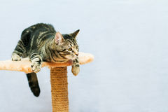 Tabby cat sits on a cat tower Royalty Free Stock Photography