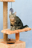 Tabby cat sits on a cat tower Stock Photo