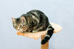 Tabby cat sits on a cat tower Royalty Free Stock Image