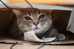A tabby cat sits inside of a brown paper bag.  Stock Photo