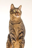 Tabby cat sits and looks forward Royalty Free Stock Photos