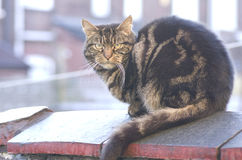 Tabby cat sitting on brick wall, Manchester England. Stock Photo