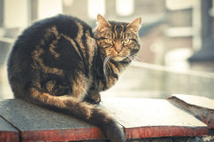 Tabby cat sitting on brick wall, Manchester England. Royalty Free Stock Photography