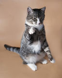 Tabby cat sitting on brown Royalty Free Stock Image