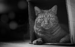 Tabby cat sitting in a cardboard box and looking at camera. Black and white photography. Cute ginger cat sitting in a cardboard box and looking at camera. Black Stock Photography