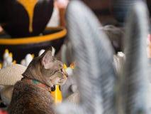 Tabby Cat Sitting dans une boutique de poupée Photographie stock libre de droits