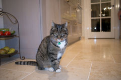Tabby-Cat. Sitting on the floor in a kitchen Stock Photography