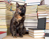 Tabby cat sitting in front of stacks of books with miniature lap Stock Photography