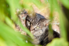 Tabby cat sitting in the grass. Hiding. Royalty Free Stock Image