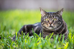 Tabby cat. A tabby cat sitting in the green grass stock image