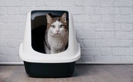 Tabby cat sitting in a litter box and look to the camera. Old tabby cat sitting in a litter box and look to the camera Royalty Free Stock Photo