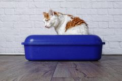 Tabby cat sitting in the litter box. Picture from a longhair cat in a blue litter box standing on a wooden floor Stock Photography