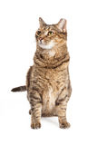 Tabby Cat Sitting Looking alta e laterale Immagini Stock