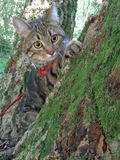 Tabby cat sitting on mossy tree and look around. House cat first walk in the woods, WOW how  wonderful world around Royalty Free Stock Image