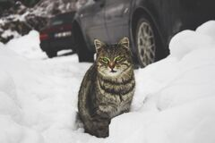 Tabby cat sitting in the snow Stock Photography