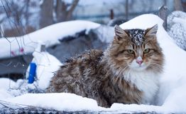 Tabby cat chilling outdoors during winter. A tabby cat is sitting on snow and chilling outdoors during winter Royalty Free Stock Image