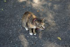 A tabby cat sitting and staring out. A tabby cat sitting on the ground while staring out forward at something Royalty Free Stock Photography