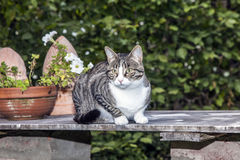 Tabby cat sitting on a table Royalty Free Stock Photos