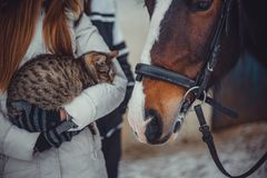 Cat on hands and horse. Tabby Cat sitting on teens hands and horse Royalty Free Stock Images