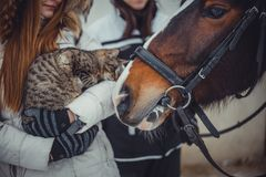 Cat on hands and horse. Tabby Cat sitting on teens hands and horse Stock Image