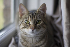 Tabby Cat sitting by a Window. Bright green eyes tabby cat sitting by the window in soft lighting, with depth of field Stock Photos