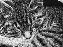 Tabby Cat Sleeping Stock Images