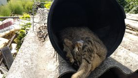 Tabby cat sleeping in a bucket. All night she hunting mouse stock footage