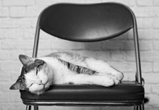 Tabby cat sleeping on a chair - black and white portrait. Stock Photography