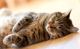 Tabby cat sleeping on the floor lying on her back. Cat sleeping on the floor lying on her back royalty free stock images