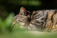 Tabby Cat Sleeping In Garden. A handsome large male tabby cat lies fast asleep with his head on his fore paws on a patio in a garden setting Royalty Free Stock Photos