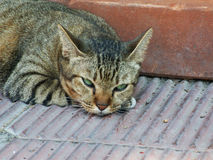 Tabby cat sleeping. On the pavement Stock Photography